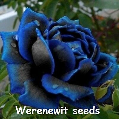 MIDNIGHT SUPREME ROSE BUSH. DOUBLE ROSE SEEDS x 20,FREE POST AUSSIE SELLER