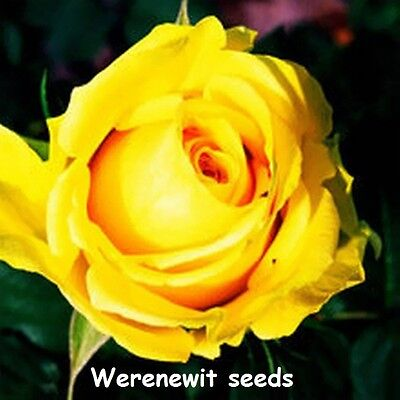 SUPER BRIGHT YELLOW ROSE SEEDS x 20,PLUS FREE GIFT AUSSIE SELLER