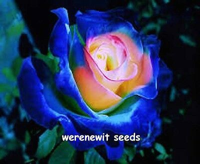 JAPANESE SMURF ROSE SEEDS x 20 FREE POST,AUSSIE SELLER