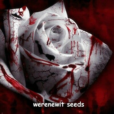 RAREST WHITE BLOOD ROSE SEEDS x 20,FRESH STOCK ,FREE POST