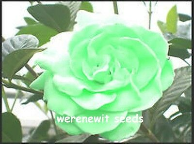 Rosa Chinensis Mint Green Rose Seeds X 20,fresh Stock,free Post.