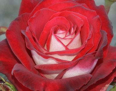 FRESH RED OSIRIA ROSE SEEDS x 20 AUSSIE SELLER+FREE POST