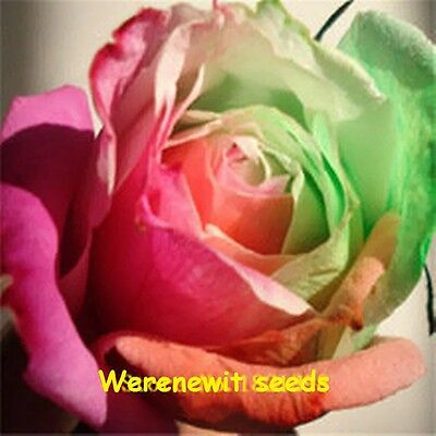 NEW PASTEL COLOURED RAINBOW ROSE SEEDS x 20,FREE POST,AUSSIE SELLER