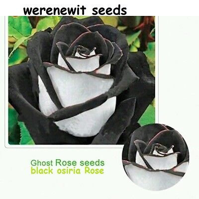RARE BLACK OSIRIA ROSE SEEDS x 20 GHOST ROSE,FRESH STOCK+AUSSIE SELLER