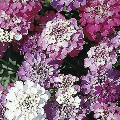 Iberis umbellata Dwarf Fairy mix - Candytuft - Approx 750 seeds Annuals