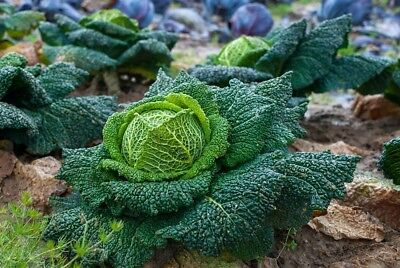 CABBAGE 'Savoy Vertus' 150 seeds WINTER VEGETABLE GARDEN unusual FRENCH HEIRLOOM