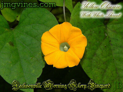 Yellow with White Throat Ipomoea Obscura Morning Glory 8 Seeds