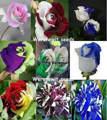 It's Here The Bulk Half'n'half Collection,9 Colour's X 10 Rose Seeds,free Post