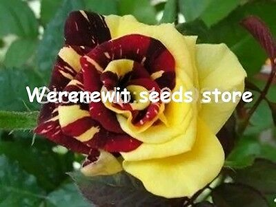 20 x FROM CANADA'S MOST BEAUTIFUL DOUBLE COLOUR ROSE SEEDS.FREE POST