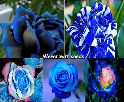 Big Bad Blue's Collection 5 Colour's X 15 Rose Seeds,free Post,fresh Seeds Stock
