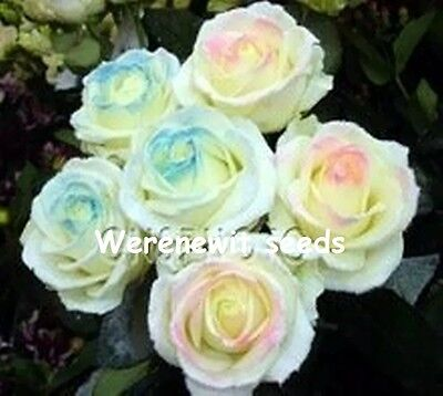 20 x NEW RARE EXOTIC SMILE OF PRINCESS ROSE SEEDS,FRESH SEEDS STOCK,FREE POST