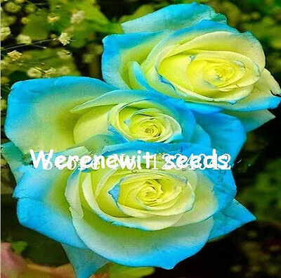 20 x NEW RARE SKY BLUE-YELLOW ROSE SEEDS,FRESH SEED STOCK,FREE POST,AUST SELLER