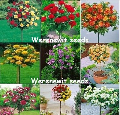 110 x POLYANTHA ROSE TREE SEEDS COLLECTION,9+1+1 COLOURS,FREE POST...