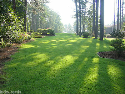 (On Backorder) Zenith Zoysia Grass Seed 100% Pure 1/2 Lb. (Plants - 500 Sq.ft.)