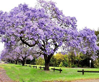 100+ Paulownia Seeds Princess Royal Tree Tomentosa Fastest Growing Shade Tree