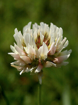 WHITE CLOVER 30,000 seeds BEE BENEFICIAL BUG ATTRACTING lawn grass GREEN MANURE