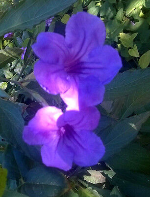 Mexican Petunia  Ruellia brittoniana 'Purple Showers',perennial, 15+ cuttings