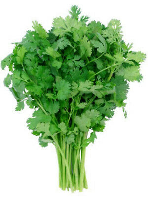 1LB Leisure Cilantro Seeds ~Coriander Spice ~ 32,000 Ct WHOLESALE QTY! non-GMO