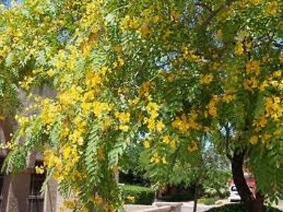 Racehorse Tree, Super Fast Growing Tough Shade Tree, 20+ Fresh Seeds