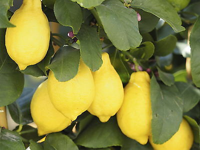 Citrus 'Lemon' Tree, 20-25cm Tall In a Pot, Ready to Fruit, Lovely & Evergreen