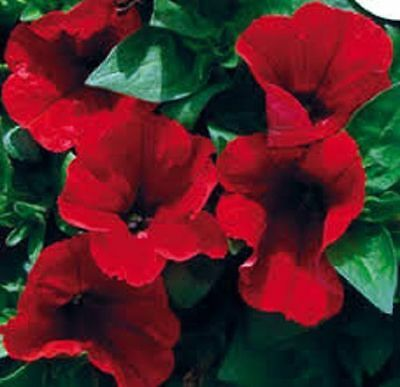 30+ Petunia Storm Red Flower Seeds Mix / Annual