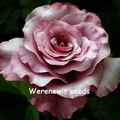 20 x NEW RARE EXOTIC NEPTUNE ROSE SEEDS,FREE POST,FREE GIFT