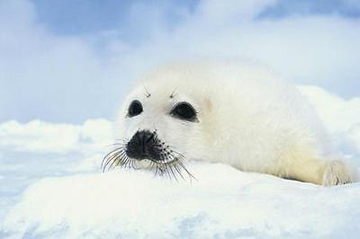 """Robbenbaby / Robbe Poster """"baby Seal Cub"""""""
