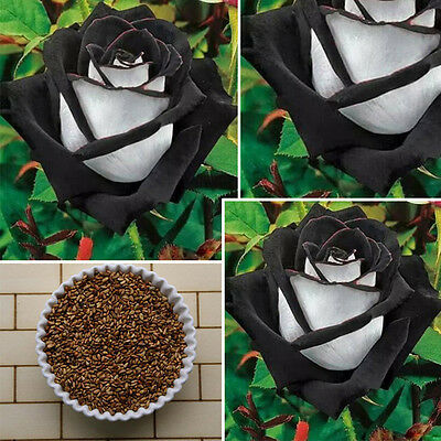 Rare 200 Pcs Black&White Rose Flower Seeds  Home Garden Plant Decor 100% True