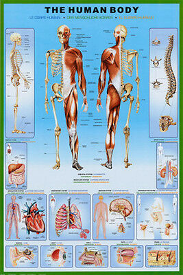 "MEDICAL EDUCATIONAL POSTER ""THE HUMAN BODY"" 61x91CM MUSCLE SPINE HEART LUNG NEW"