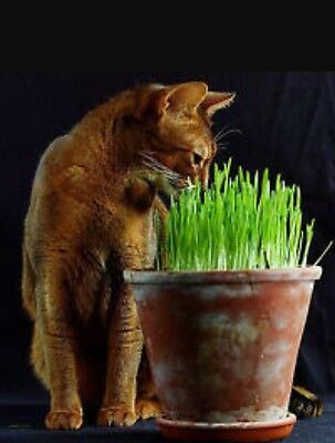 90g UK grown sweet Oat Grass seeds for Cats and other Pets