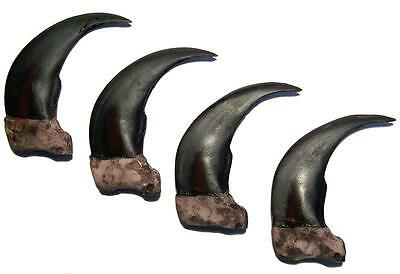 2 LG 3 IN SYTHENTIC GRIZZLY BEAR CLAW brown bears black wild animal claws resin