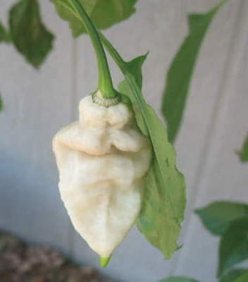 25 Premium Hand Selected Seeds from Organically Grown White Bhut Jolokia Peppers