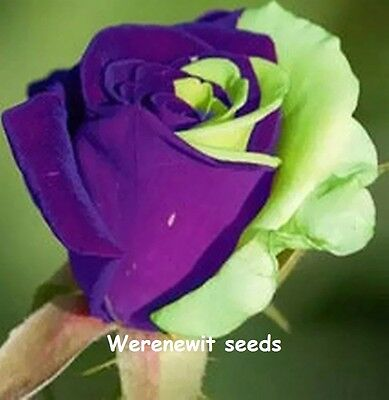 20 X New Exotic Purple-Green Half'n'half Rose Seeds,free Post,free Gift