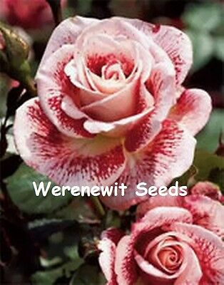 20 x NEW EXOTIC EVENING DISCOLOURATION(STRANGE FLOWERS)PINK SPOTS ROSE SEEDS