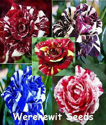 New Exotic Collection Of 5 X Colours Dragon Rose X 10 Seeds+Free Gift,free Post