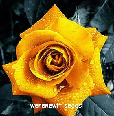 NEW GOLDEN YELLOW ROSE SEEDS x 20,FREE POST,FRESH STOCK,AUSSIE SELLER+ FREE GIFT