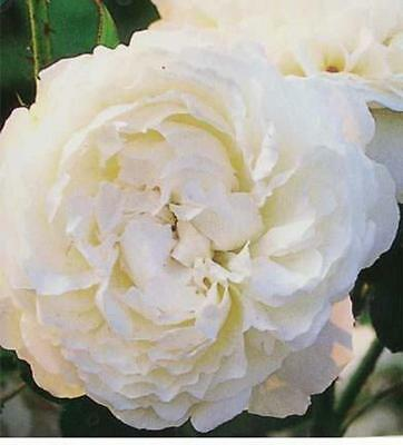 Winchester Cathedral White Rose 2 Gal. Live Shrub Plants Shrubs Plant Roses Now!