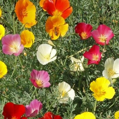Californian Poppy - Eschscholtzia Californica - appx 1,800 seeds Annual