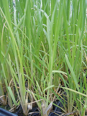 3 x Cortaderia White Feather Pampas grass plants in pots