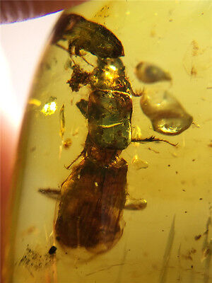 FZ0278 Parasitism Extinct Beetle in Fossil Burmite Amber