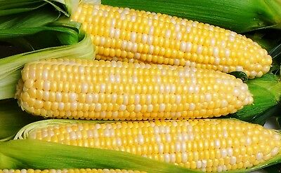 SWEET CORN 'Bicolour' 20 seeds Supersweet HEIRLOOM vegetable garden SPRING maize