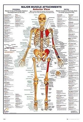 HUMAN BODY - MAJOR  MUSCULAR ATTACHMENTS ANTERIOR POSTER ANATOMY CHART 61x91cm