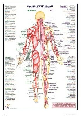 (Laminated) Human Body - Major Posterior Muscles Poster (61X91Cm) New Wall Art