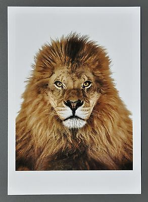 Andrew Zuckerman Ltd. Ed. Photo Print 17x24 Afrikanischer Löwe 2006 African Lion