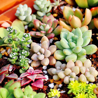150PCS Mixed Succulents Seeds Rare Succulent Potted Plant Seed Home Garden Decor