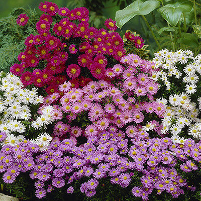 Hardy Aster Perennial plants in 9cm Pots - set of 3 colours