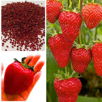 150pcs Giant Red Strawberry Plant Seeds, Garden Fruit Plant, Rare And Delicious