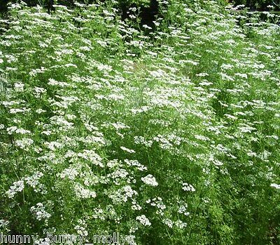 Anise herb, BULK 200 seeds, Licorice, Culinary and Herbal, Aniseed