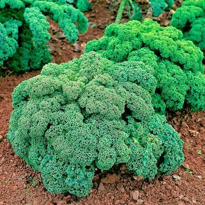 Vegetable Borecole Kale Dwarf Green Curled 25 grams appx 7,500 seeds