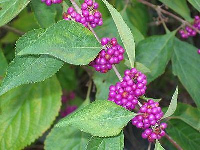 Beautyberry (200 seeds) fresh this season's harvest from my garden